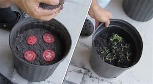 Planter Graine Tomate : voici la technique la plus simple au monde pour faire pousser ses plants de tomates bio la une ~ Dallasstarsshop.com Idées de Décoration