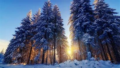 Forest Winter Snow Tree Sun Nature Trees