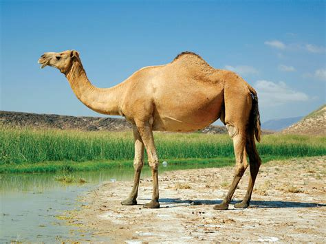 Camel Images Camel Animal Photo Wallpapers