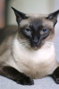 seal point cat sagwa our purebred seal point siamese cat