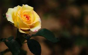 Yellow Roses Wallpaper   LINEPC