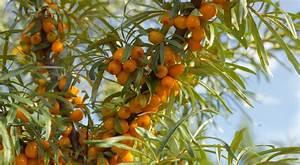 argousier plantation entretien et recolte With idee de decoration de jardin exterieur 13 physalis plantation entretien et recolte