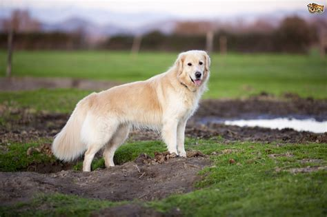 Golden Retriever Dog Breed Facts Highlights And Advice