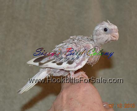 pin virginia birds for sale on pinterest