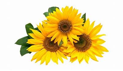Girasoles Animados Sunflowers Happy Girasol Birthday 30th