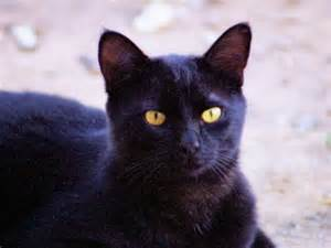 black cat pictures black cat pictures 4 wide wallpaper funnypicture org