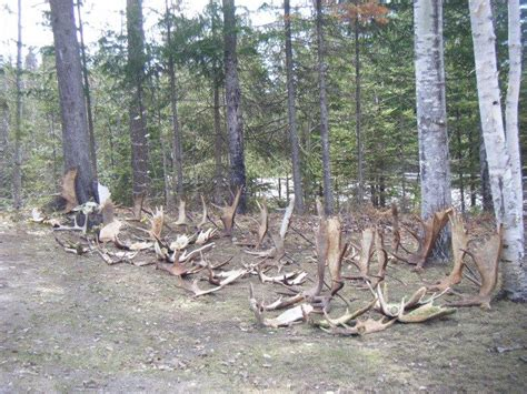 Moose Antlers Shed by Moose Shed Allagash Guide Service