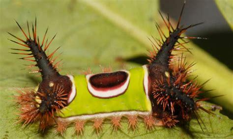 saddleback caterpillar acharia stimulea clemens