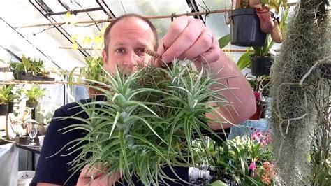 easy  grow air plants  air plant tillandsia