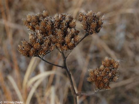 Achillea millefolium (Common Yarrow): Minnesota Wildflowers