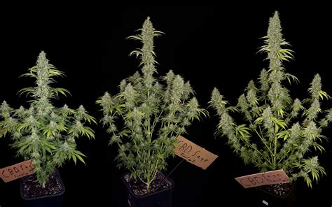 jamaican scientists close   affordable cbd based
