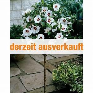 Hibiskus Stämmchen Kaufen : dominik gartenparadies hibiskus st mmchen rot wei 1 st ck g nstig online kaufen ~ Buech-reservation.com Haus und Dekorationen