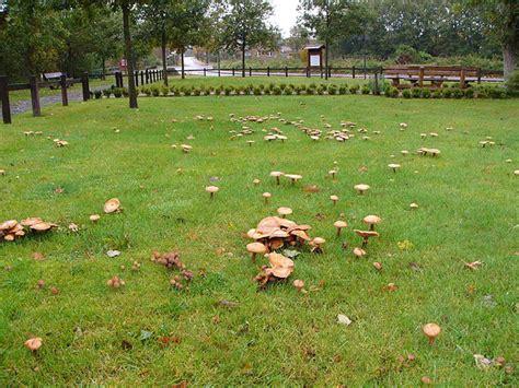 Hallimasch Pilze Im Garten hallimasch der feind in meinem garten diese rombergs