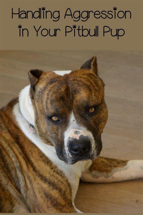 pitbull puppy training tips  aggressive pitbull pup