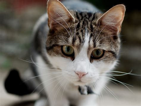 White Gray Cat, Face, Focus, Mustache Wallpaper Animals