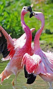 Animal / Flamingo (1080x1920) Mobile Wallpaper   Wild ...