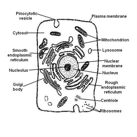 anatomy  physiology  animalsthe cell worksheet