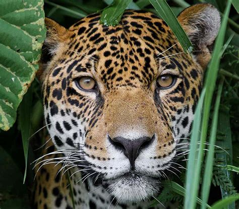 Jaguar Picture by Panama Wildlife