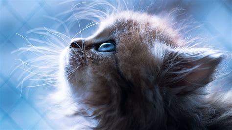 ❤ get the best blue backgrounds on wallpaperset. Little Cat Blue Eye Famous Wallpaper   HD Wallpapers