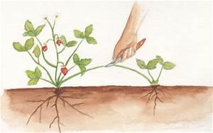 Plant De Fraisier : multiplier les plants de fraisier gamm vert ~ Premium-room.com Idées de Décoration
