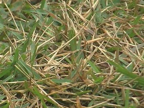 Lawn Fungus Is Spreading Across Properties In Palm Beach