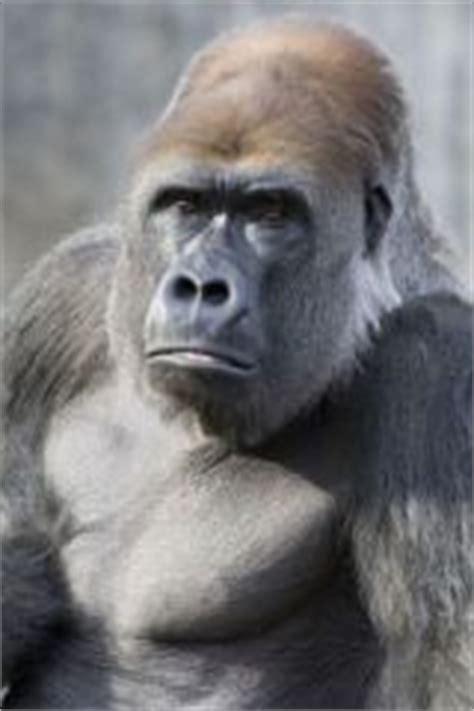 animals  kids gorilla