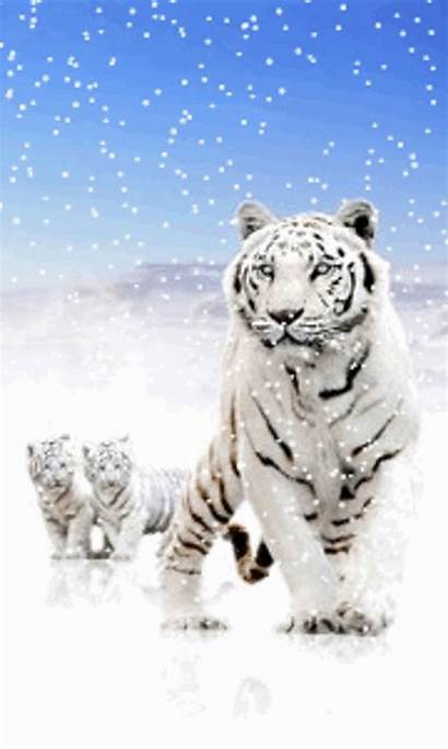 Tiger Snow Tigers Siberian Android Screensaver Wallpapers