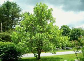 tulip tree best trees to plant 10 options for the backyard bob vila