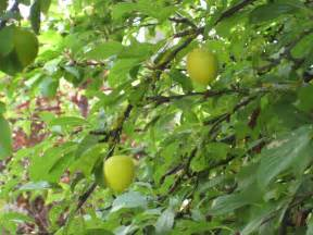 Growing Plum Trees From Seed