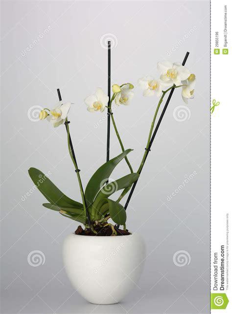 orchidea vaso orchidea in vaso di fiore bianco immagine stock