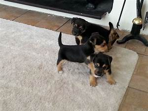 **Stunning Black & Tan Jack Russell Puppies** | Alcester ...