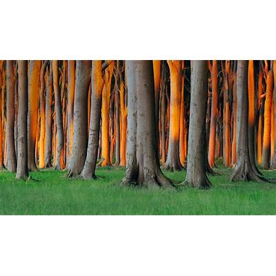 beech treeBing Images - Germany Beech Trees © 2014