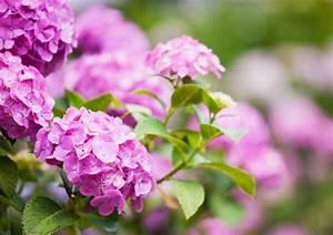 Hortensien Wann Schneiden : hortensien pflanzen pflegen schneiden und mehr ~ Lizthompson.info Haus und Dekorationen