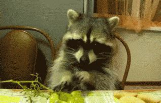 raccoon eating grapes