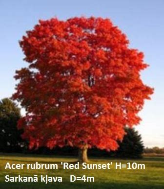 Sarkanā kļava Acer rubum 'Red Sunset' - Stādaudzētava ...