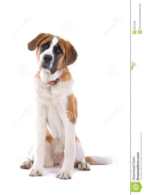 st bernard dog sitting stock image image  laying restful