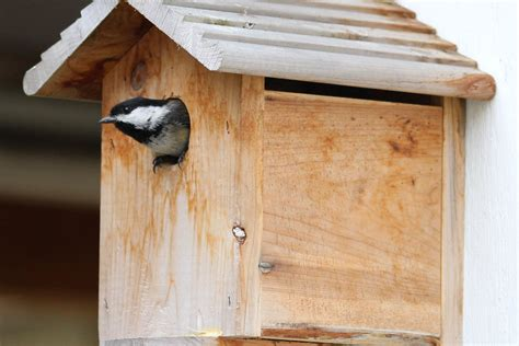 chickadees feed  young northwest picturemaker
