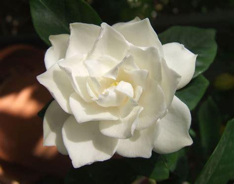 white flower varieties file white gardenia flower jpg wikimedia commons