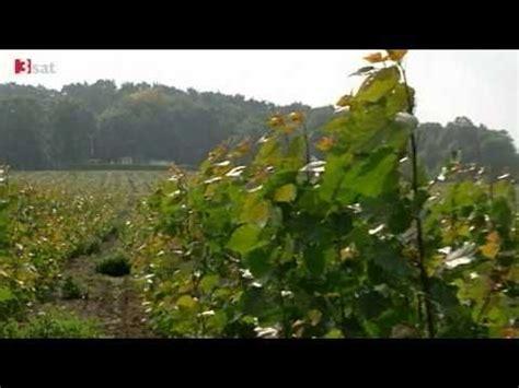 strom aus holz lohnt sich biomasse plantagen brauchen kurze wege