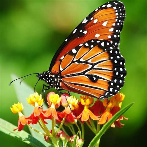 segi4 kupu kupu metamorfosis sempurna siklus hidup kupu kupu ilmu