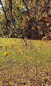 October golden beauty. Kaunas Lithuania. #nature # ...
