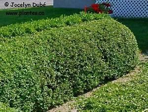 Quand Tailler Une Haie : tailler les plantes ~ Melissatoandfro.com Idées de Décoration
