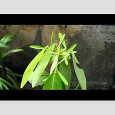 Dancing Plant Youtube
