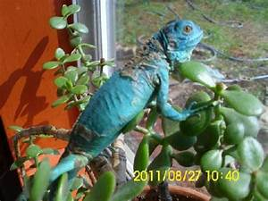 Kingsnake.com - Herpforum - RE: petco blue iguanas?