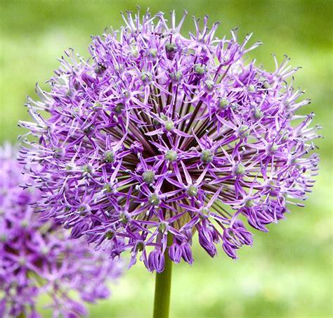 pictures of alliums allium flowering plants type of flowers wallpaper