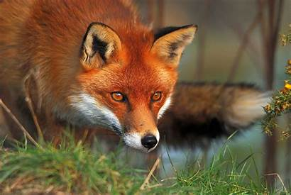 Fox Animal Cool Backgrounds Wallpapers Animals Foxes