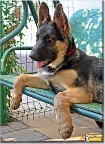 Baby German Shepherd Dog