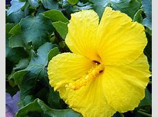 Hawaii State Flower Yellow Hibiscus