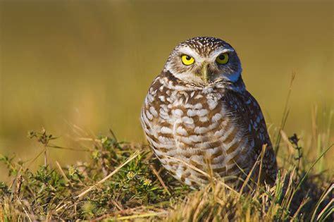 what do owls eat what do screech owls eat f f info 2016