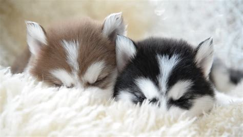 cute siberian husky puppies sleeping stock footage video